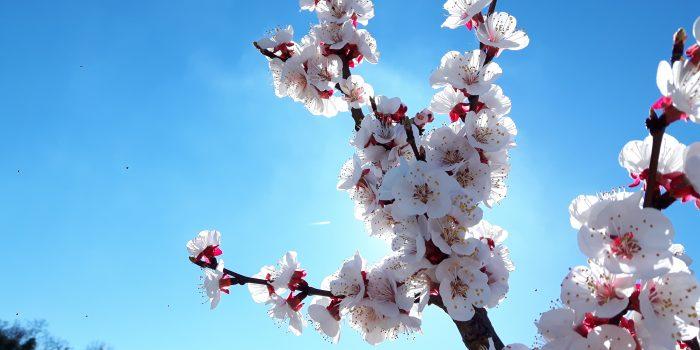 fiori-albicocco